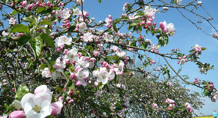 Bus-Rundfahrt in Stade: Ausflug ins Alte Land zur Obst-Blüte
