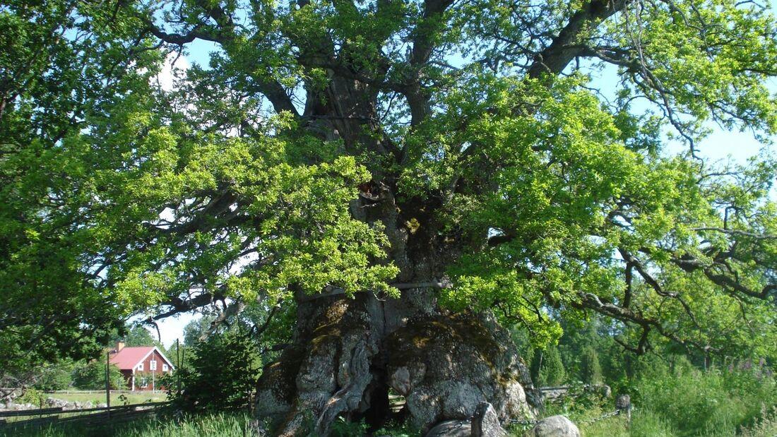 Das Naturreservat Kvill in Småland mit Schwedens ältester Eiche kann man ab 13. Juni barrierefrei entdecken.