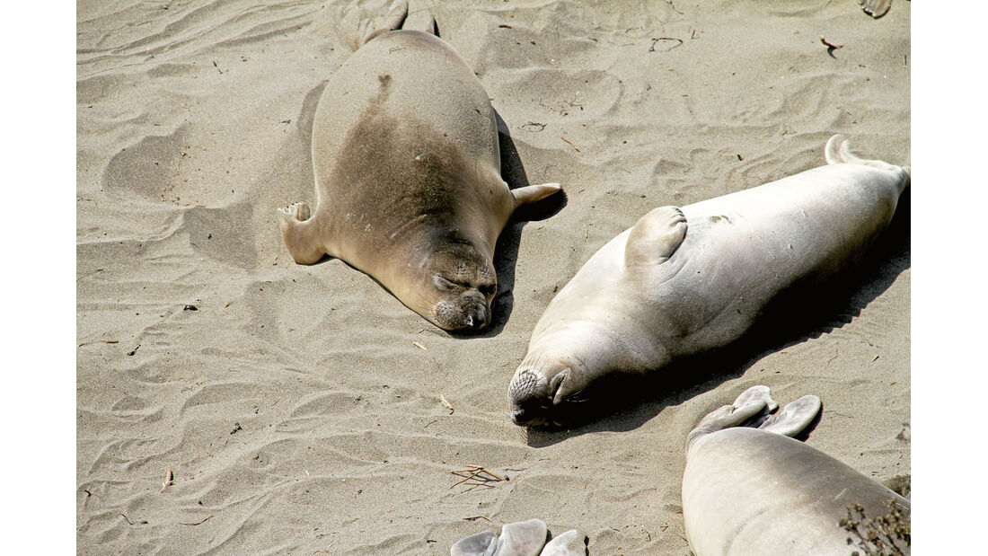Diese Robben muessen nicht um den Strandplatz rangeln.