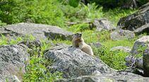 Es gibt fast unendlich viele Wandermöglichkeiten (hier bei Brambach am Wildkogel) – und  Murmeltiere sind oft in Sichtweite.