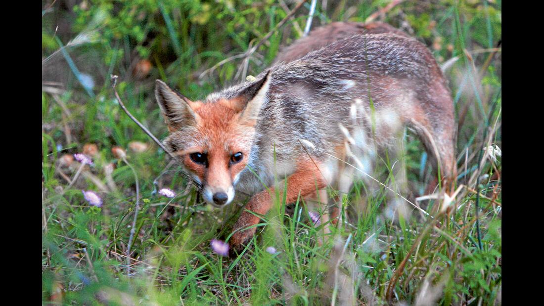 Fuchs auf Gargano