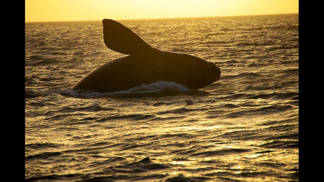 Halbinsel Valdés, Argentinien: Vor der Küste leben auch Schwertwale (Orcas).