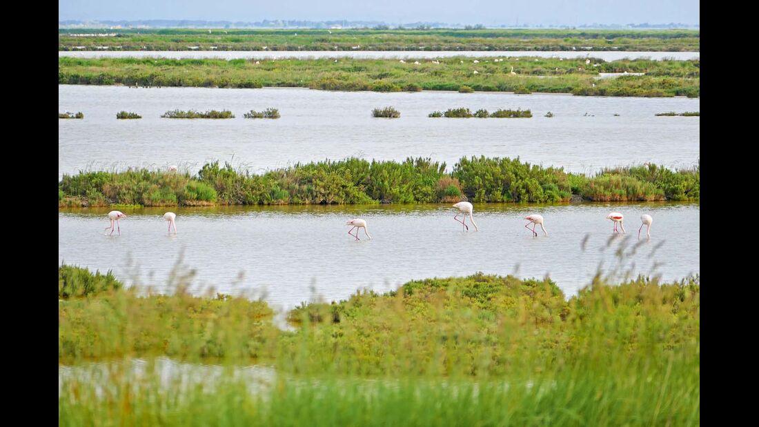 Italiens größte Flamingo-Kolonie lebt in den Valli di Comacchio.