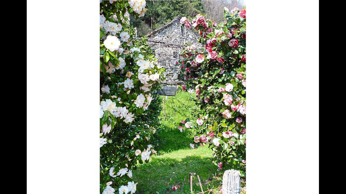 Kamelienblüte Piemont Italien
