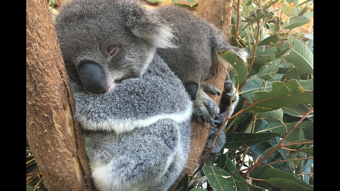 Koalas streicheln