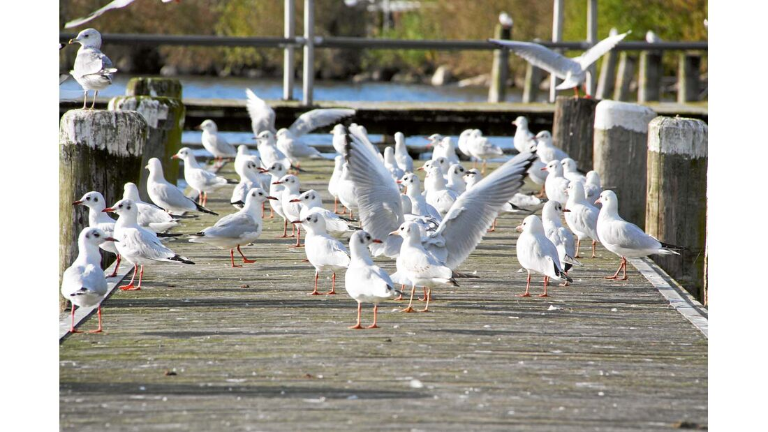 Möwen auf einem Steg am Plöner See