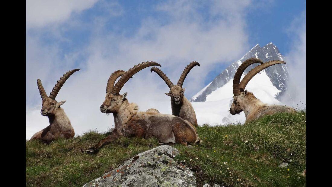 Steinböcke - Könige der Alpen