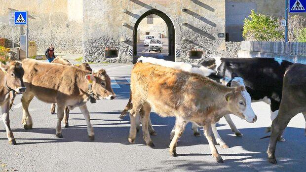 Vinschgau Kühe in Glurns